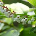 写真: 初夏の高原に咲く(アラゲナツハゼ)