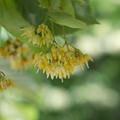 写真: 菩提樹の花