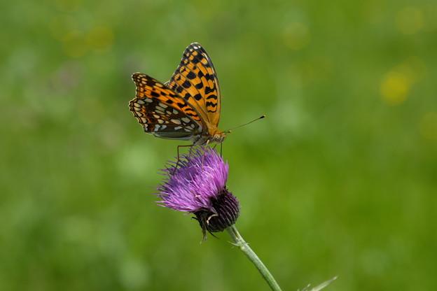 写真: 高原の蝶(ウラギンヒョウモン)