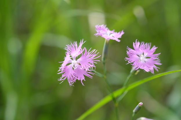 写真: 夏の花(カワラナデシコ)