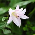 写真: 夏の花(ササユリ)
