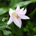 Photos: 夏の花(ササユリ)
