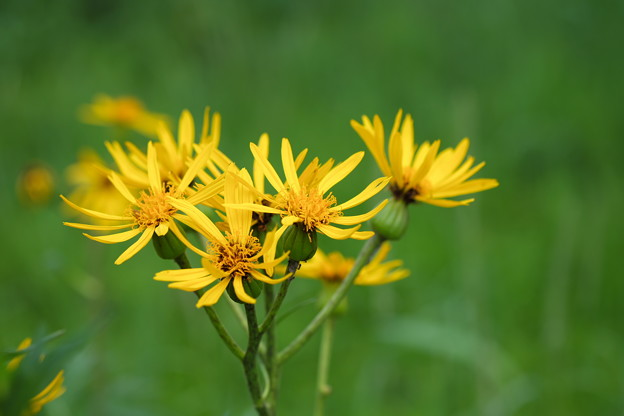 写真: 湿原に咲く(ハンカイソウ)