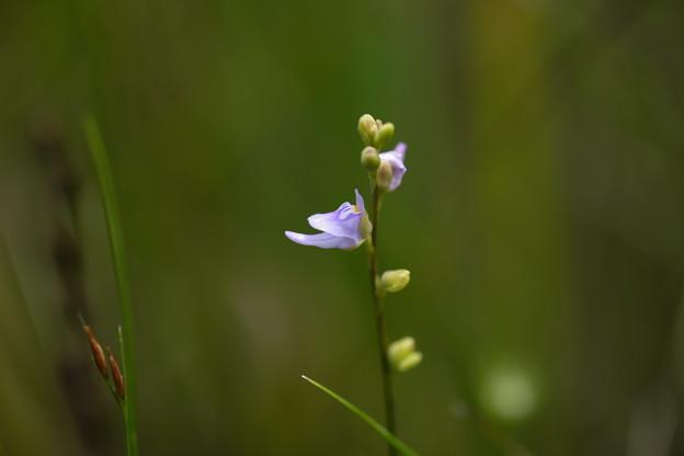 Photos: 湿原に咲く(ホザキミミカキグサ)