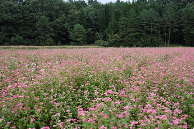 ソバ畑も満開