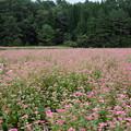 写真: ソバ畑も満開