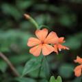 写真: 季節の花(フシグロセンノウ)