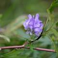 写真: 湿原の秋 (タンナトリカブト)