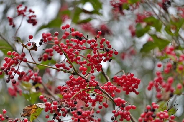 秋色に染まる(カンボクの実)