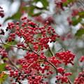 写真: 秋色に染まる(カンボクの実)