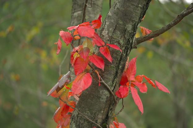 秋色に染まる(ツタウルシ)
