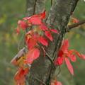 写真: 秋色に染まる(ツタウルシ)
