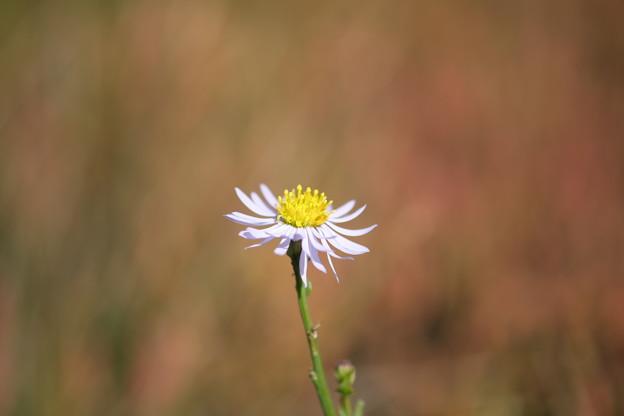 季節の花(ウラギク)