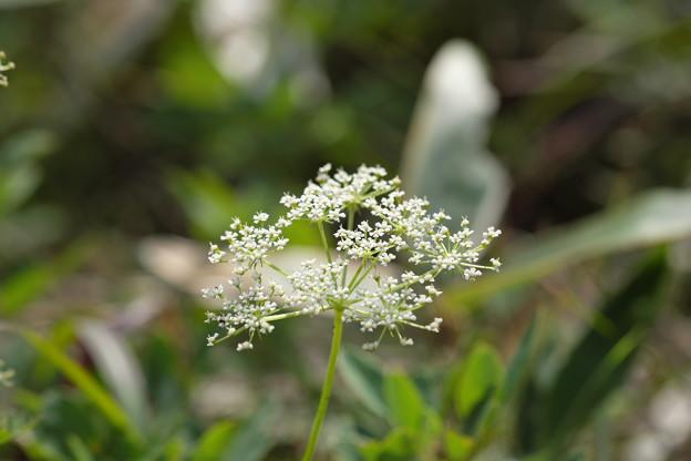 季節の花(カワラボウフウ)