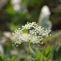 写真: 季節の花(カワラボウフウ)