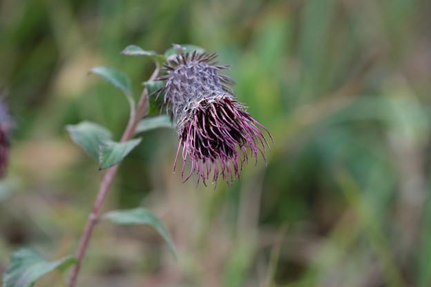 季節の花(ハバヤマボクチ)