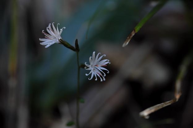 晩秋の花(キッコウハグマ)