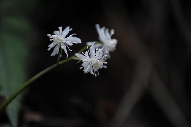 春の訪れ (セリバオウレン)