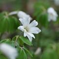 春の山野草(アズマイチゲ)