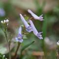 写真: ヤマエンゴサクも咲く