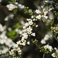 春色(ユキヤナギ)