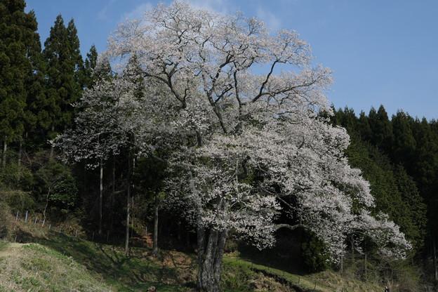 森湯谷のエドヒガン(2)