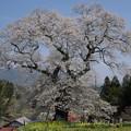 Photos: 小奴可の要害桜