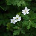 春の山野草 ニリンソウ