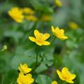 春の山野草(リュウキンカ)