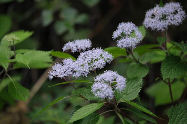 紫陽花の季節(コアジサイ)