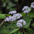 Photos: 紫陽花の季節(コアジサイ)