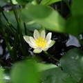 初夏の湿原に咲く(ヒツジグサ)
