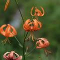 夏の湿原に咲く(コオニユリ)