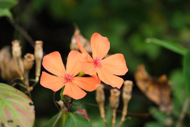秋の高原に咲く(フシグロセンノウ)