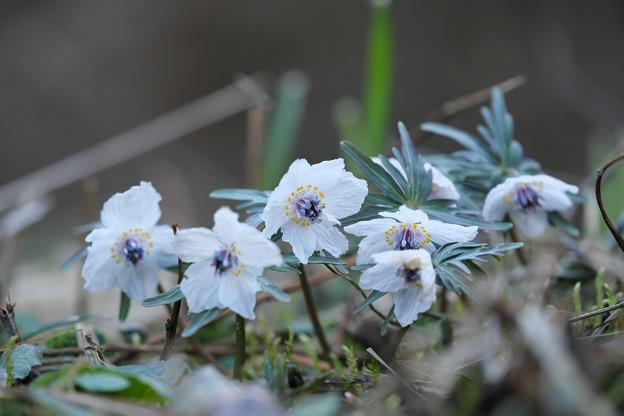 春の妖精(セツブンソウ)