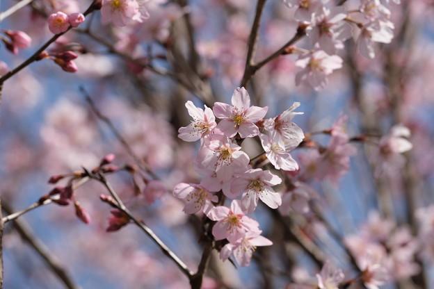 桜咲く。コヒガンザクラかな?