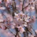 Photos: 桜咲く。コヒガンザクラかな?