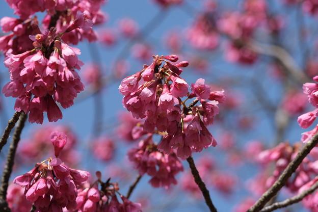 春、桜咲く。寒緋桜