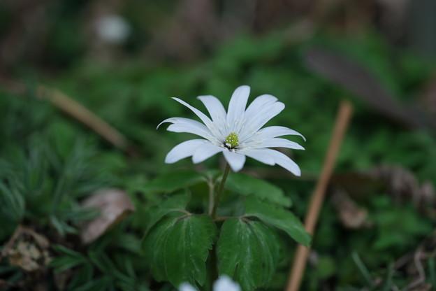 春の山野草 (アズマイチゲ)