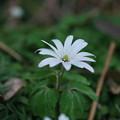 Photos: 春の山野草 (アズマイチゲ)