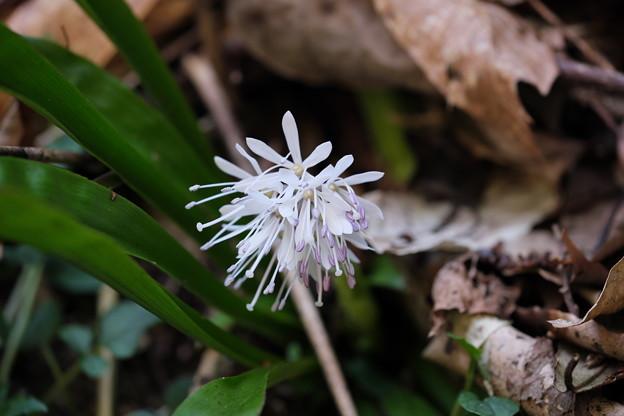 春の山野草 (シロバナショウジョウバカマ)