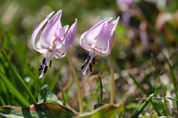 春の山野草(カタクリ)
