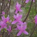 Photos: 春(コバノミツバツツジ)