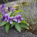 Photos: 春(菫)