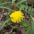 道端の花(タンポポ)