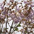 身近な花(桐)