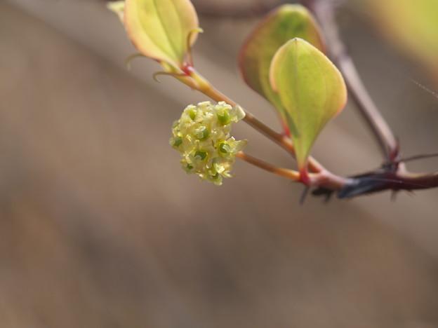 身近な花(サルトリイバラ)