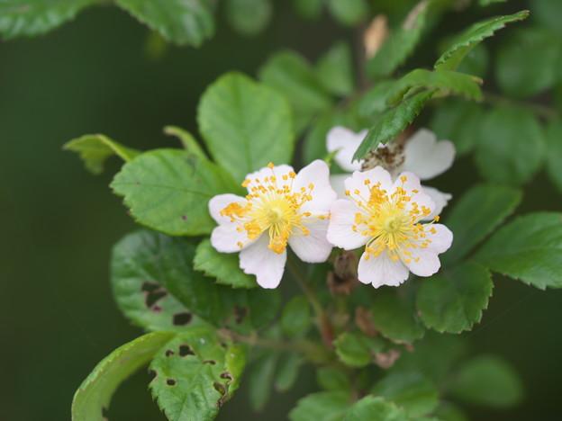 身近な花(ノイバラ)