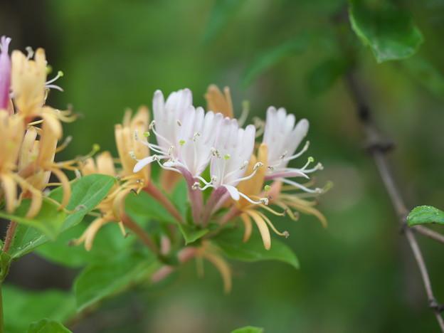 身近な花(スイカズラ)