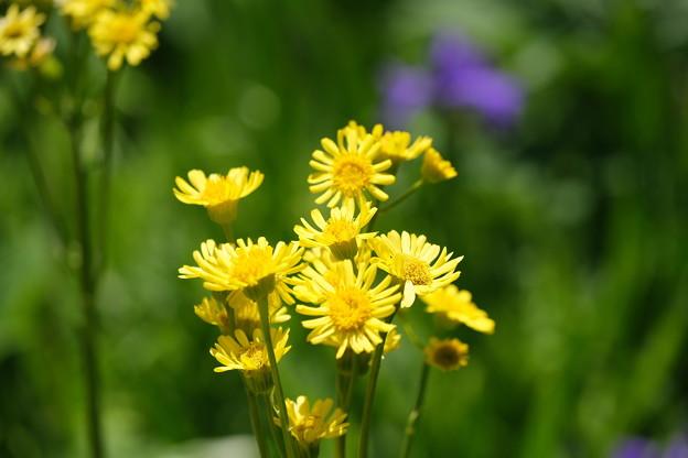 初夏の湿原に咲く花(サワオグルマ)